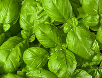 Fresh Basil Leaves. With water drops on it Stock Photos