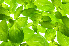 Fresh Basil Leaves close-up background Royalty Free Stock Images