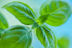 Fresh basil leaves close up Stock Image