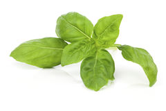 Fresh basil leaves Royalty Free Stock Photos