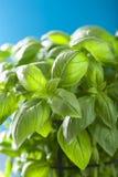 Fresh basil leaves herb background Royalty Free Stock Photo
