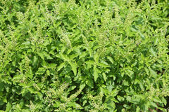 A Fresh basil leaves herb and ingredient food Royalty Free Stock Photos
