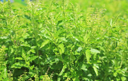 Fresh basil leaves herb and ingredient food Stock Photos