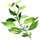 Fresh basil leaves isolated Stock Photo