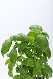 Fresh basil leaves Stock Photography