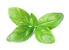 Fresh basil leaves Royalty Free Stock Image