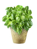 Fresh basil leaves Stock Images