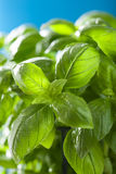 Fresh basil leaves wet herb background Stock Photo