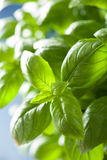 Fresh basil leaves wet herb background Royalty Free Stock Image