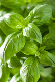 Fresh basil leaves wet herb background Royalty Free Stock Photography