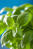 Fresh basil leaves wet herb background Royalty Free Stock Images
