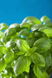 Fresh basil leaves wet herb background Stock Photography
