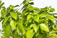 Fresh basil. Leaves on white royalty free stock image