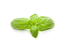 Fresh basil leaves Royalty Free Stock Photography