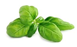 Fresh basil leaves  . Royalty Free Stock Photography