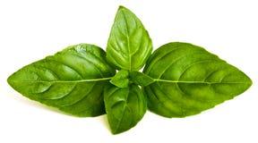 Fresh basil leaves on white background Stock Photos