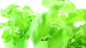 Fresh basil leaves on white background stock footage