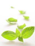 Fresh basil leaves on white background Royalty Free Stock Photo