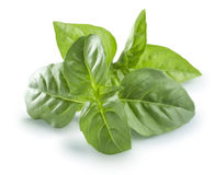 Fresh basil leaves  on white background sunny option Royalty Free Stock Photos