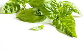 Fresh Basil leaves  white wooden background. Stock Photography