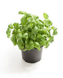 Fresh basil from the market Royalty Free Stock Photo