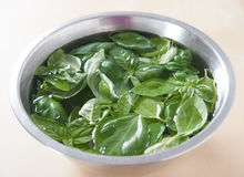 Fresh basil in a metal bowl filled with water Royalty Free Stock Image