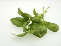 Fresh Basil (Ocimum basilicum) Stock Image