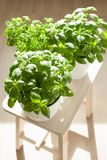 Fresh basil and parsley herb in flowerpots Stock Images