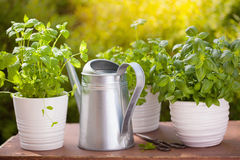 Fresh basil parsley mint herbs in garden Royalty Free Stock Images