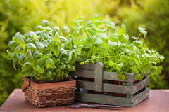 Fresh basil parsley mint herbs in garden Royalty Free Stock Photo