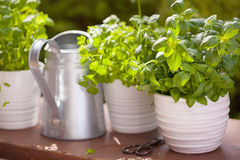 Fresh basil parsley mint herbs in garden Stock Image