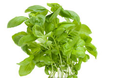 Fresh basil plant Stock Photo