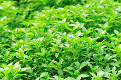 Fresh basil plant Royalty Free Stock Photo