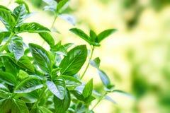 Fresh basil plant Stock Photo