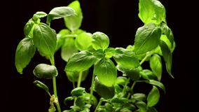 Fresh basil plant isolated on black background, rotating stock video footage