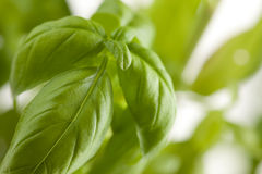 Fresh Basil Plant Leaves Abstract Stock Photos