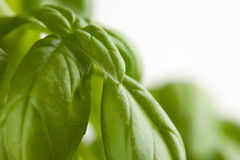 Fresh Basil Plant Leaves Abstract Stock Image