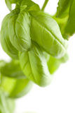Fresh Basil Plant Leaves Abstract Royalty Free Stock Images