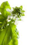 Fresh Basil Plant Leaves and Sprout Abstract Stock Photos