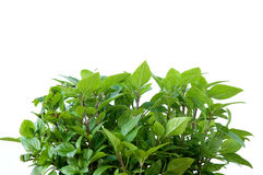 Fresh basil plant leaves Royalty Free Stock Photos