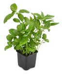 Fresh basil plant in pot Royalty Free Stock Photography
