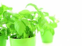 Fresh basil plants stock footage