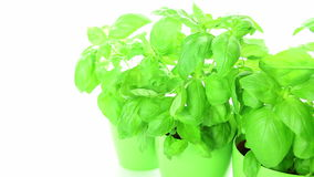 Fresh basil plants on white background, dolly-shot stock video footage