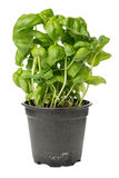 Fresh basil in pot Royalty Free Stock Images