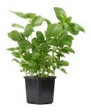 Fresh basil in pot Stock Image