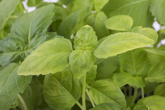Fresh basil Royalty Free Stock Photos