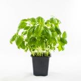 Fresh basil in pot Stock Photography