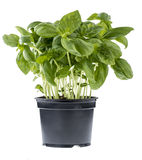Fresh basil in a pot. Fresh basil in a black pot isolated over white royalty free stock photos