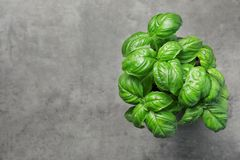 Fresh basil in pot on gray background. Top view with space for text royalty free stock image