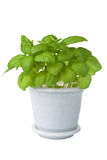 Fresh basil in pot isolated Royalty Free Stock Photo
